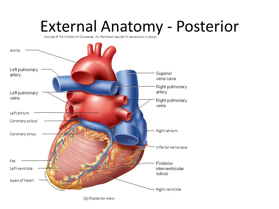 Ch. 19 The Heart. - ppt video online download