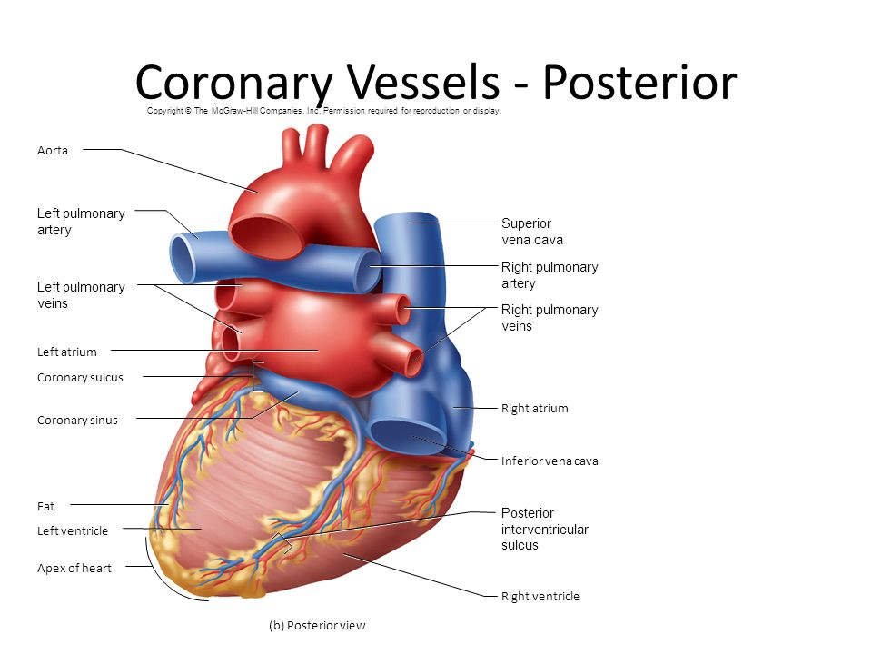 Posterior diagram of heart vessles online schematic diagram ch 19 the heart ppt video online download rh slideplayer com human heart diagram human heart ccuart Images