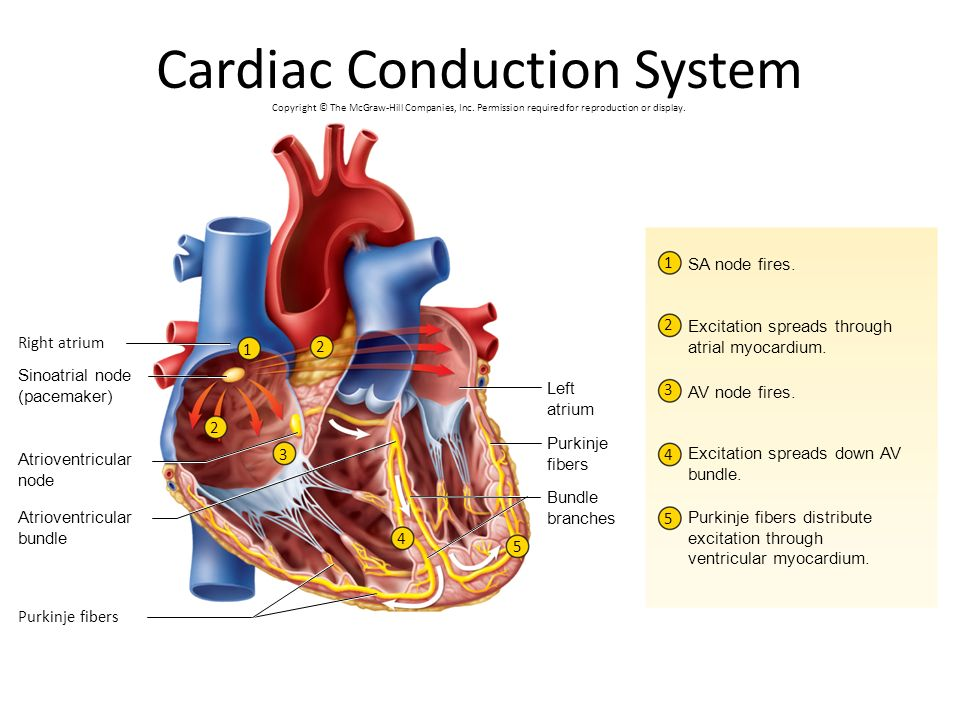 Ch 19 the heart ppt video online download cardiac conduction system ccuart Images