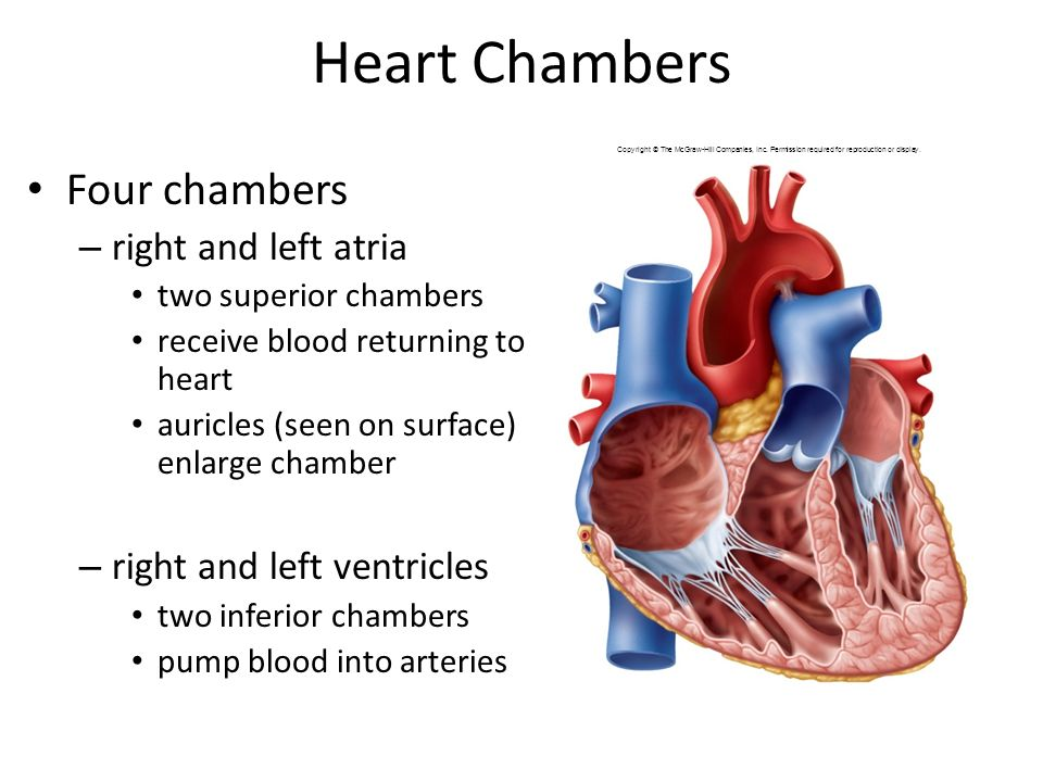 Ch 19 The Heart Ppt Video Online Download