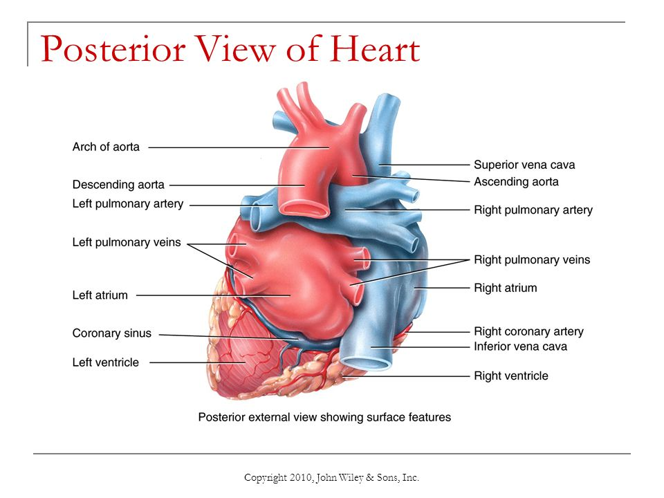Copyright 2010 john wiley sons inc ppt video online download posterior view of heart ccuart Choice Image