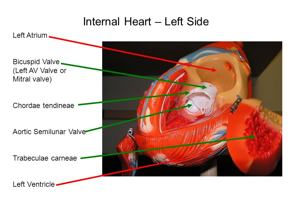 Heart Models  - ppt video online download