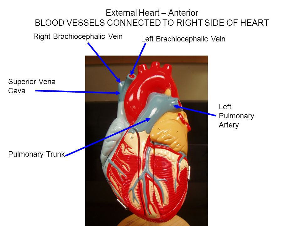 Heart Models Ppt Video Online Download