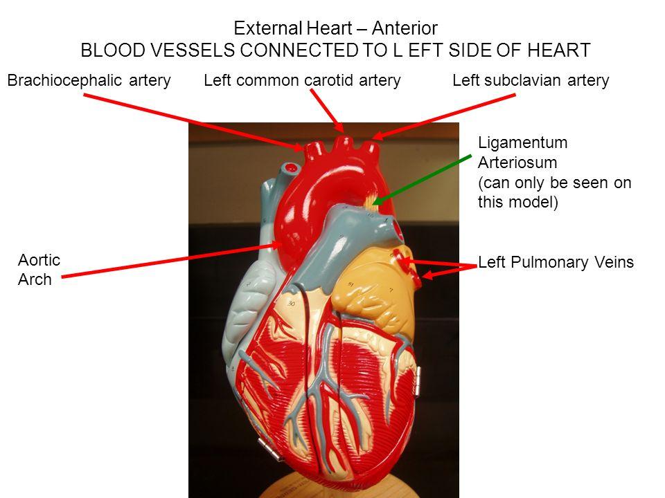 Sheep Heart Ligamentum Arteriosum Diagram Block And Schematic