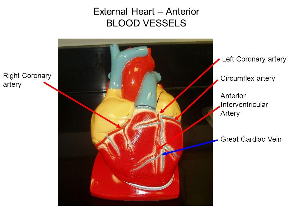 Heart Models Ppt Video Online Download