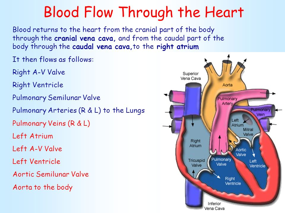 Cardio System Heart Anatomy Ppt Video Online Download