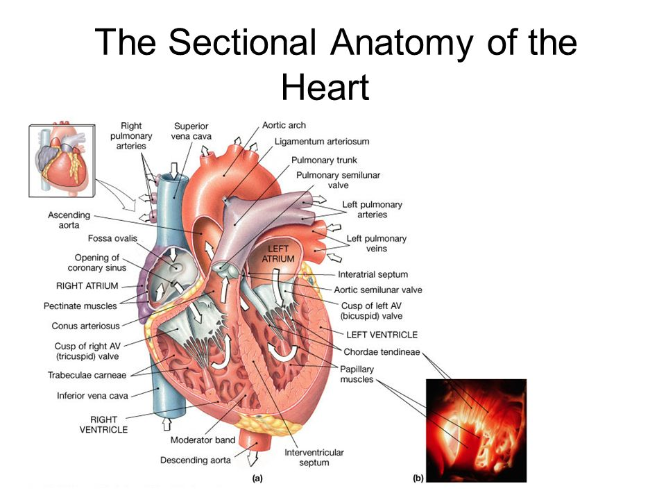 Exercise 35 Anatomy Of The Heart Ppt Video Online Download