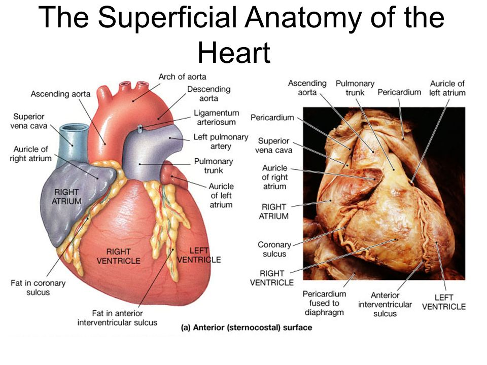 Exercise 35 Anatomy of the Heart. - ppt video online download