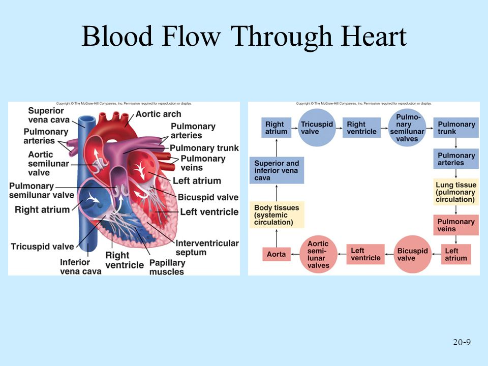 Functions Of The Heart Generating Blood Pressure Routing Blood Ppt