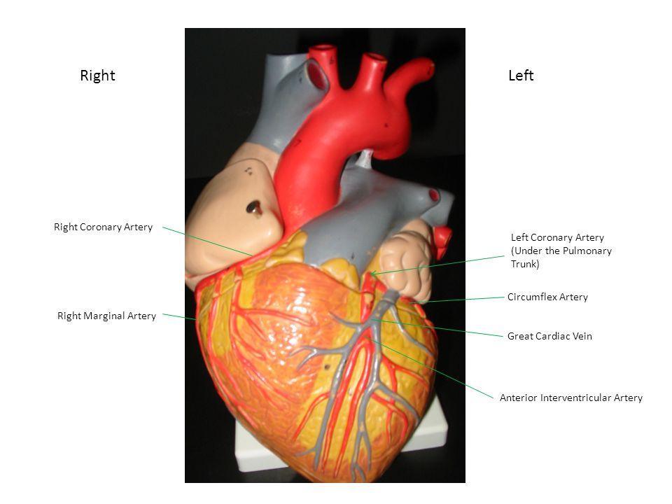 Anterior Heart Superior Vena Cava Aorta Left Pulmonary Arteries ...