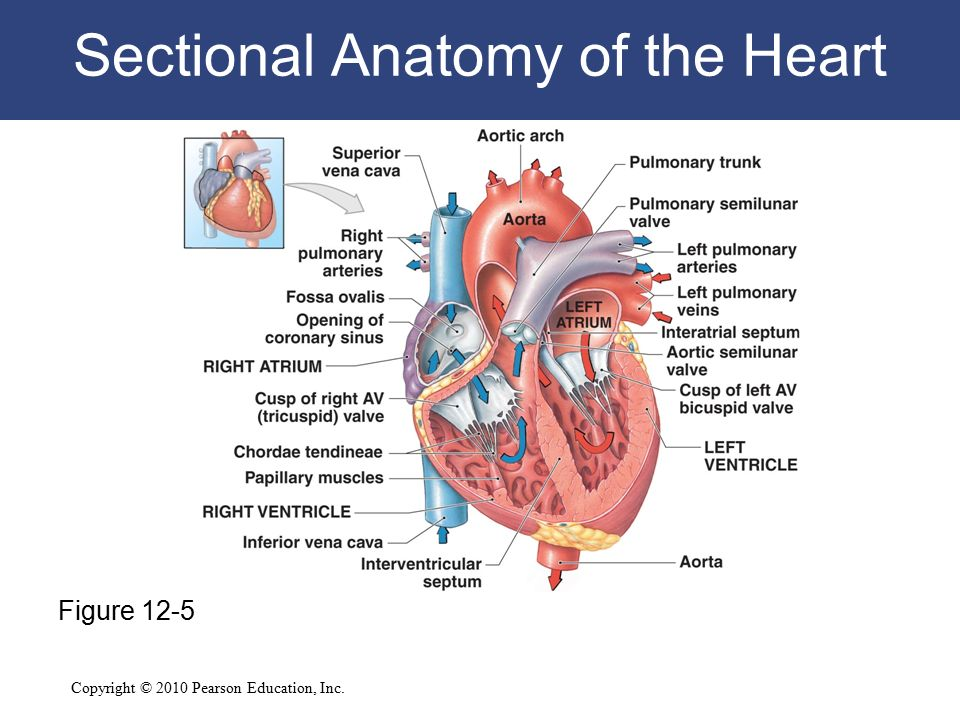 12 The Cardiovascular System: The Heart C h a p t e r - ppt video ...