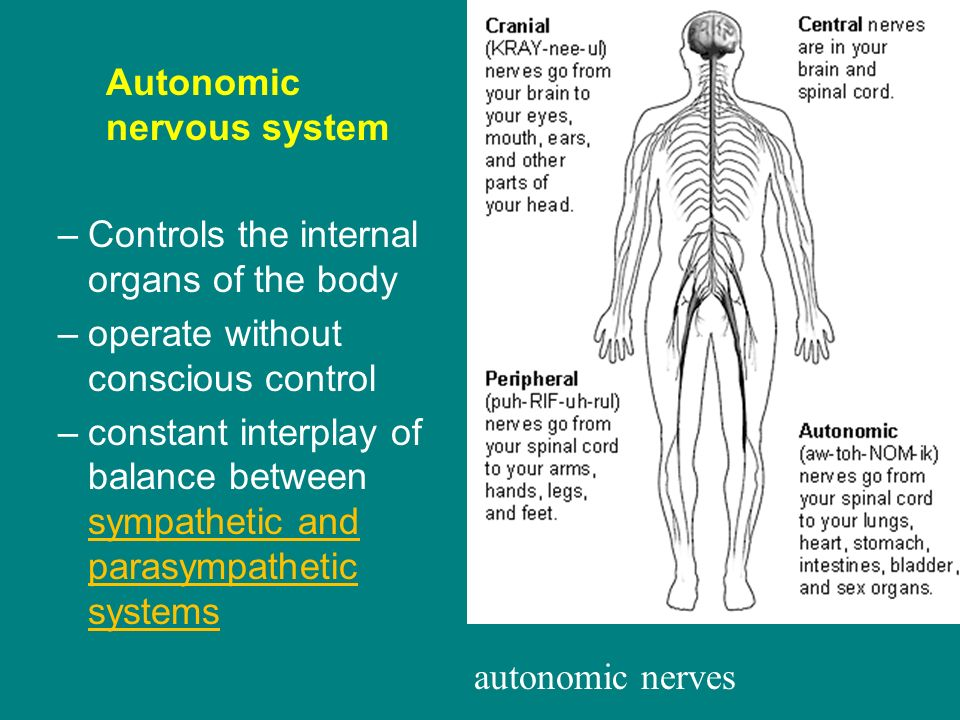 lab report example for autonomic nervous system on the heart rate The organs (the viscera) of our body, such as the heart, stomach and intestines, are regulated by a part of the nervous system called the autonomic nervous system (ans) the ans is part of the peripheral nervous system and it controls many organs and muscles within the body.