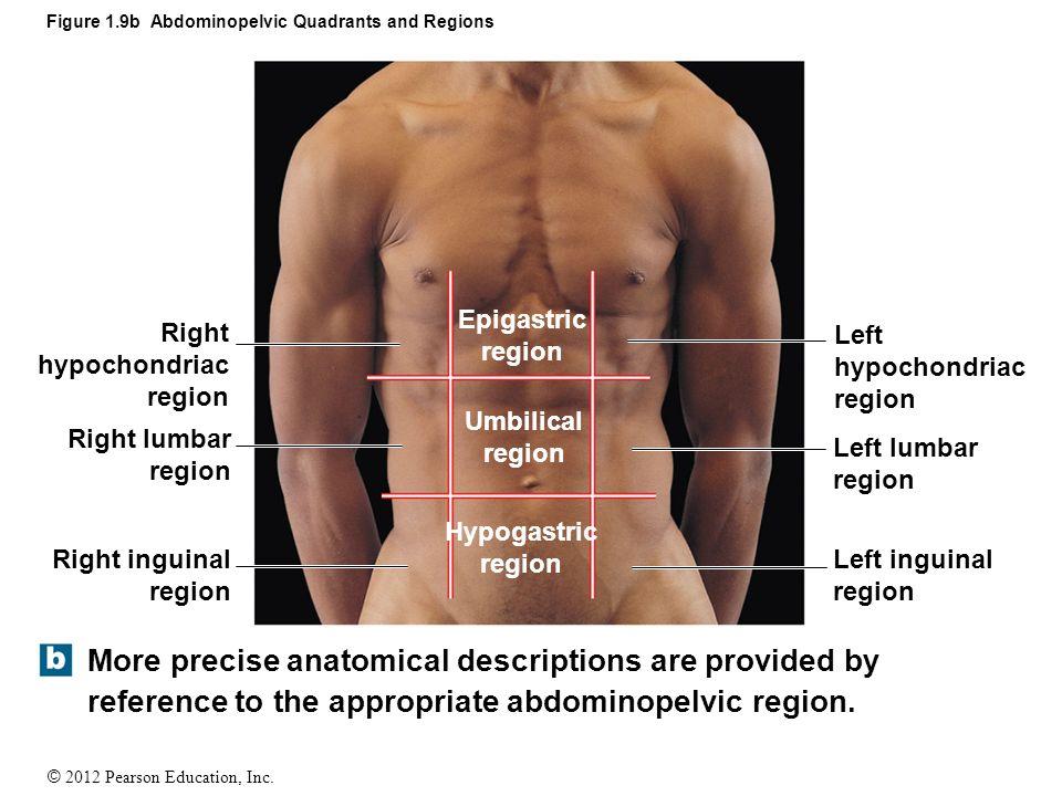 Inguinal Area Anatomy Image collections - human body anatomy