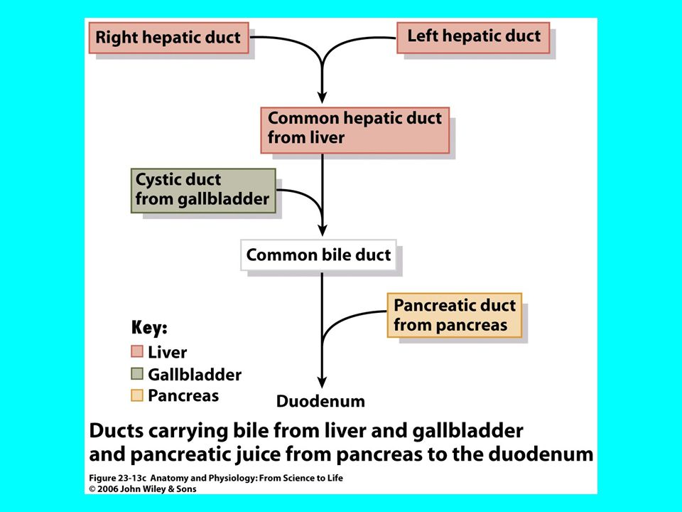 Beautiful Anatomy And Physiology Of Liver And Gallbladder Component ...