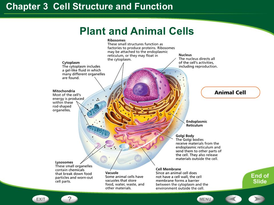 Section 1 discovering cells ppt video online download 12 plant and animal cells ccuart Images