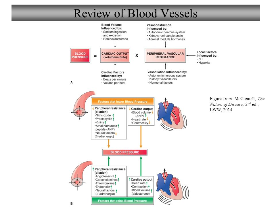 Chapter 8 disorders of blood vessels lecture 8 ppt video online review of blood vessels fandeluxe Choice Image