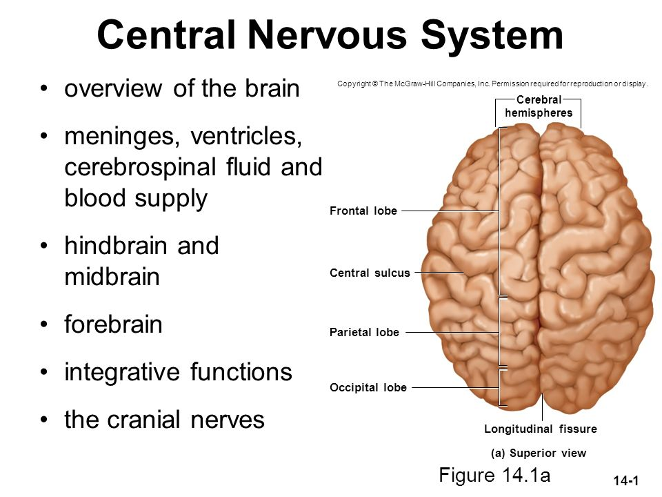 Central Nervous System Ppt Download