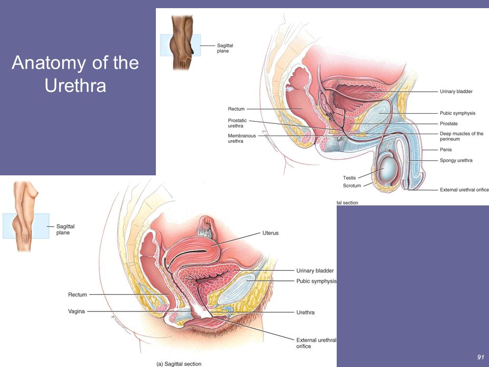 The Urinary System Lecture Outline - ppt download