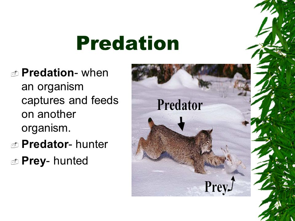 Predation Predation- when an organism captures and feeds on another organism.