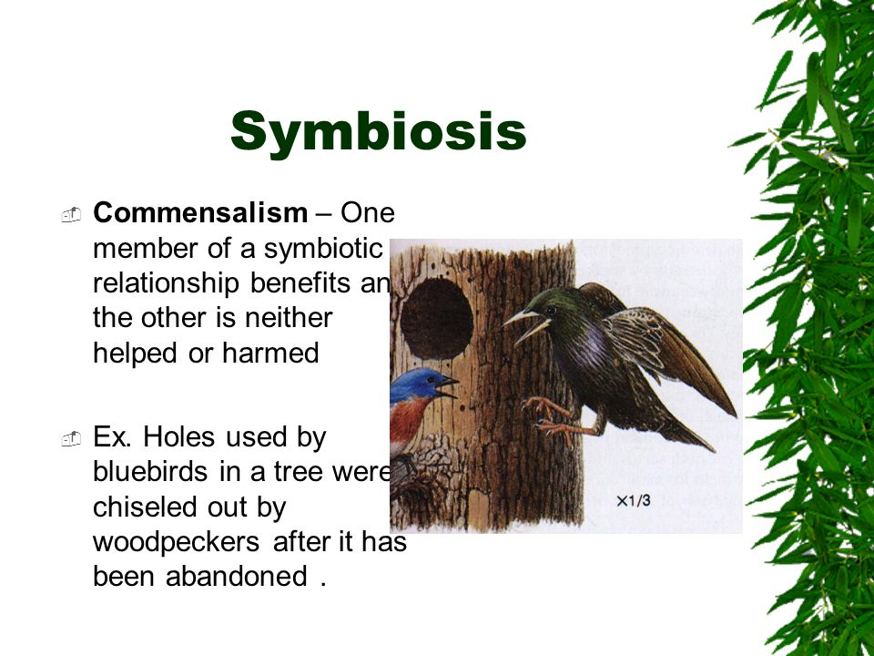 Symbiosis Commensalism – One member of a symbiotic relationship benefits and the other is neither helped or harmed.