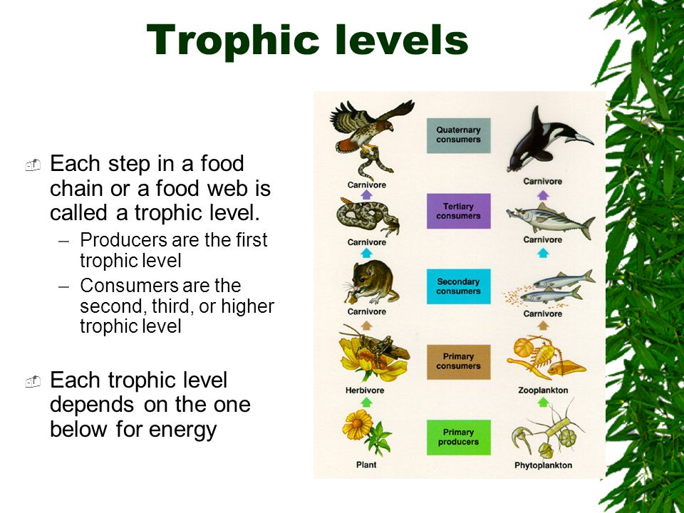 Trophic levels Each step in a food chain or a food web is called a trophic level. Producers are the first trophic level.
