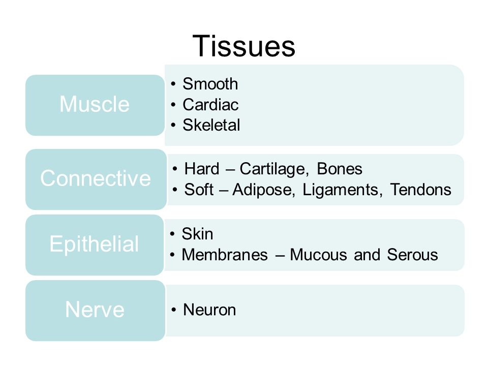 Tissues Muscle Smooth Cardiac Skeletal Connective