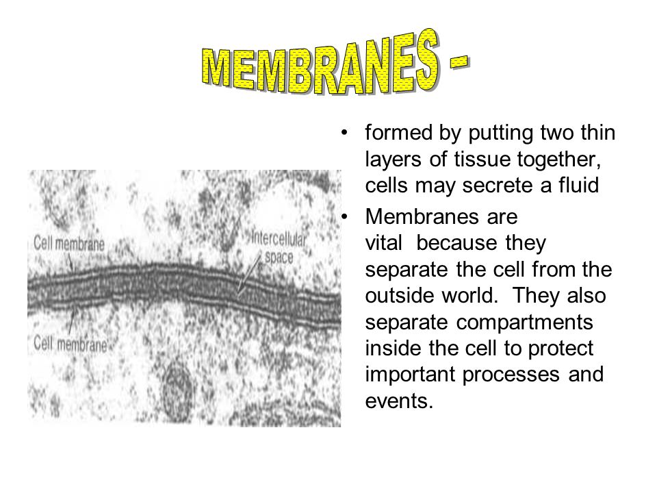 MEMBRANES – formed by putting two thin layers of tissue together, cells may secrete a fluid.