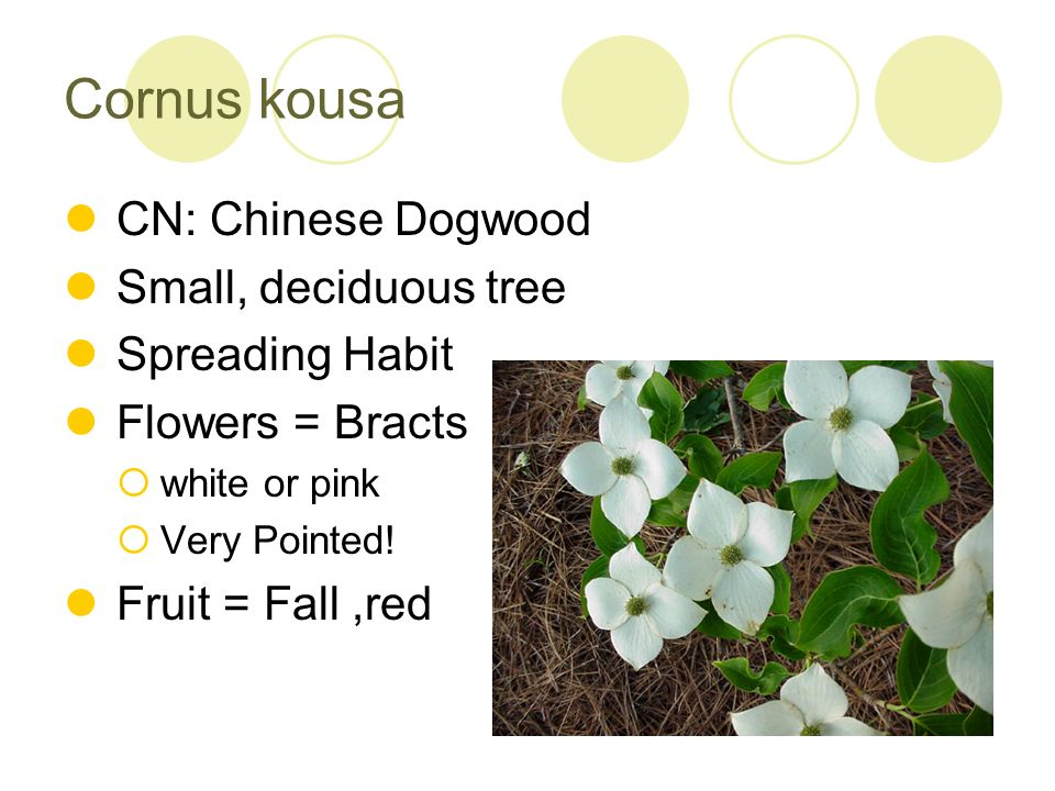 Cornus kousa CN: Chinese Dogwood Small, deciduous tree Spreading Habit