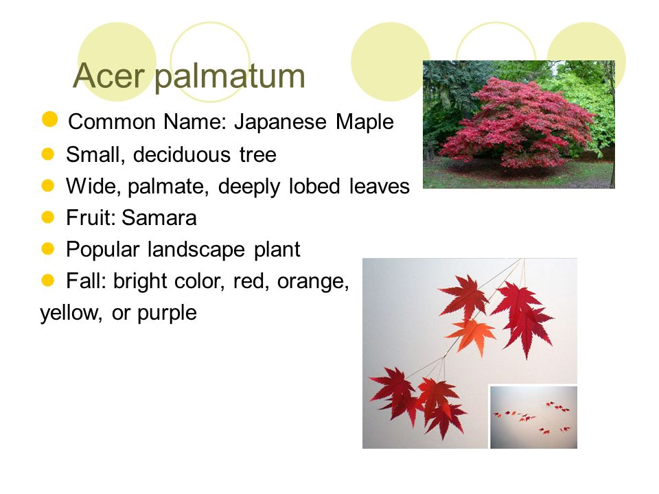 Acer palmatum Common Name: Japanese Maple Small, deciduous tree