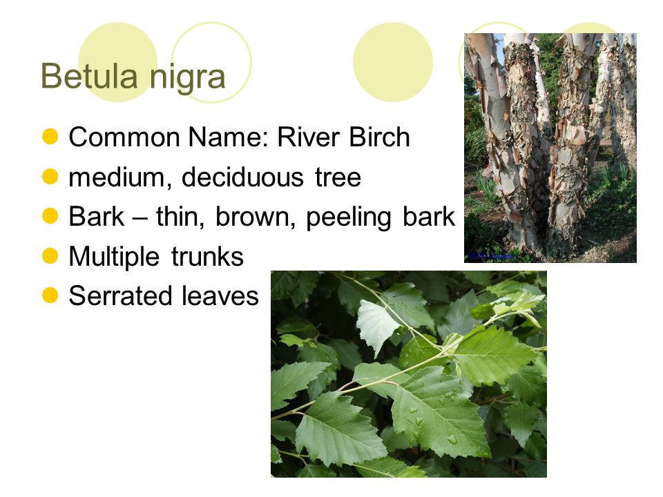 Betula nigra Common Name: River Birch medium, deciduous tree