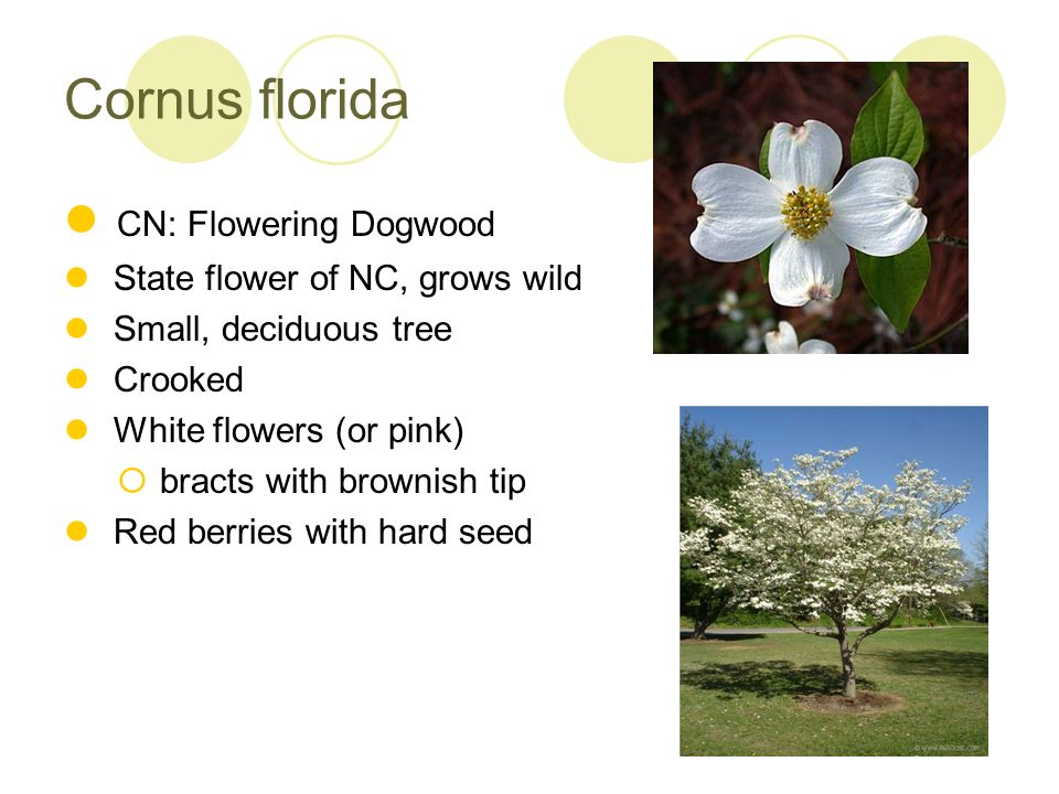 Cornus florida CN: Flowering Dogwood State flower of NC, grows wild
