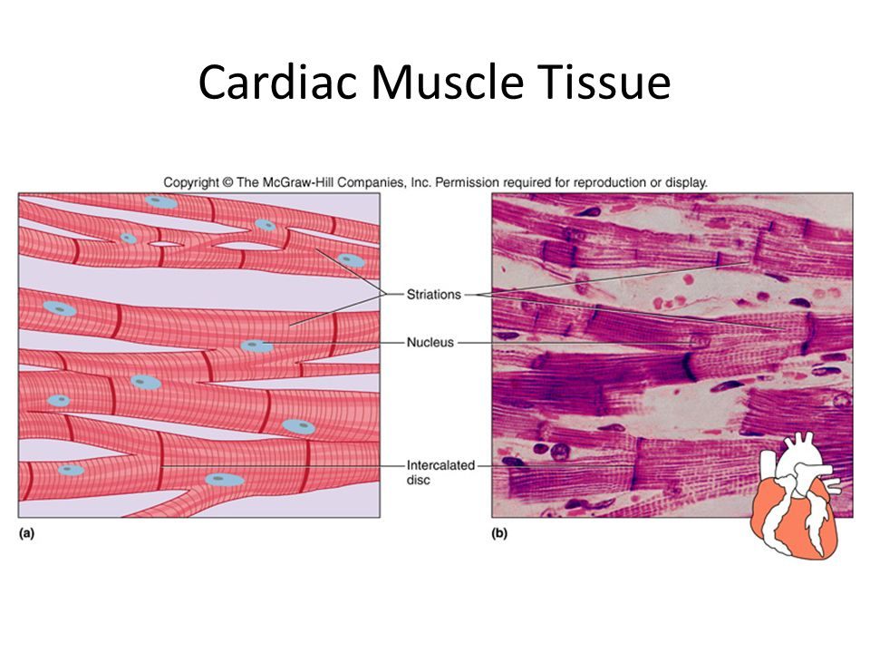 Cardiac Muscle Tissue Diagram Great Installation Of Wiring Diagram