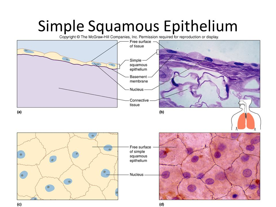 Simple Squamous Epithelium