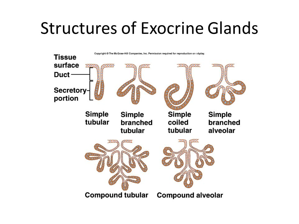 Structures of Exocrine Glands