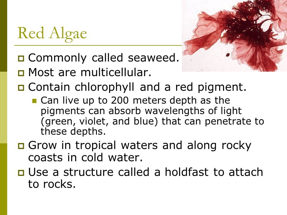 Red Algae Commonly called seaweed. Most are multicellular.