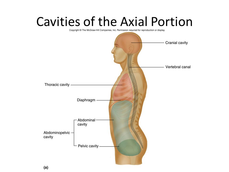 Cavities of the Axial Portion