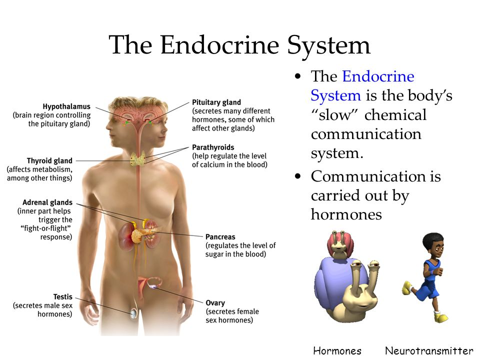 4 The Endocrine System Endocrine Glands Release Into The
