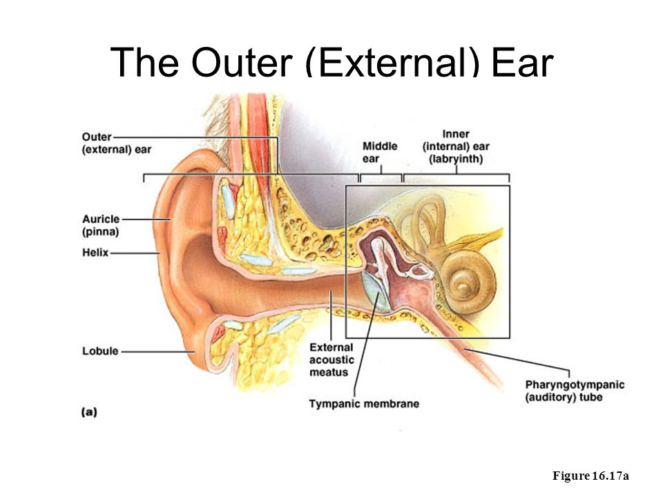 The Ear Outer Ear Middle Ear Inner Ear Ppt Video Online Download