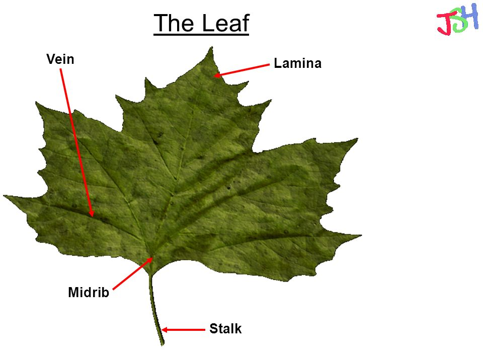 leaf and photosynthesis Measuring photosynthesis via the production of carbohydrates there is a crude method where a disc is cut out of one side of a leaf (using a cork borer against a rubber bung) and weighed after drying some days (or even weeks later), a disk is cut out of the other half of the leaf, dried and weighed.