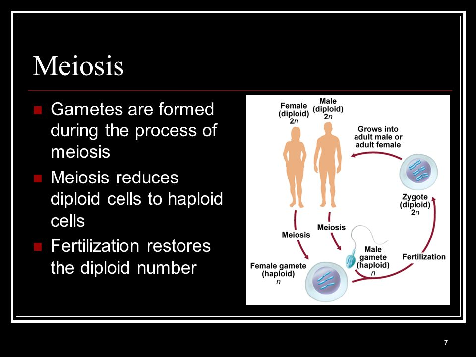 Meiosis Gametes are formed during the process of meiosis