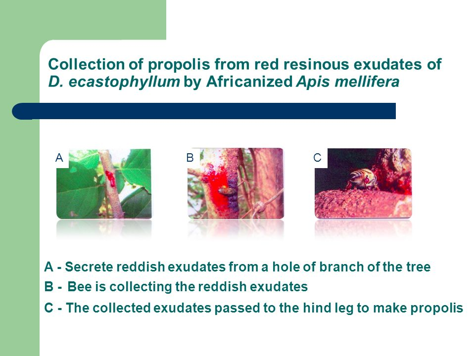 Collection of propolis from red resinous exudates of D