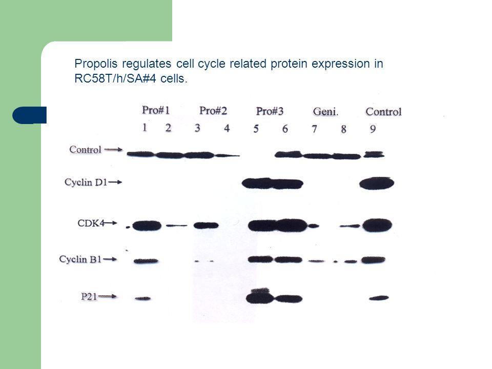 Propolis regulates cell cycle related protein expression in RC58T/h/SA#4 cells.