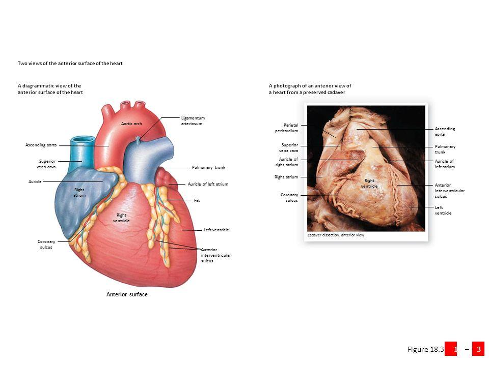 Amazing Cadaver Heart Anatomy Images - Anatomy And Physiology ...