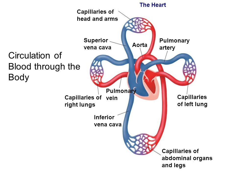 The Cardiovascular System Ppt Video Online Download