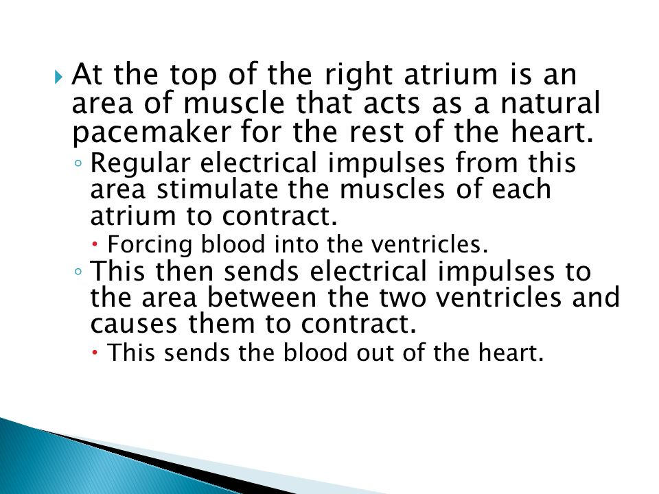 At the top of the right atrium is an area of muscle that acts as a natural pacemaker for the rest of the heart.