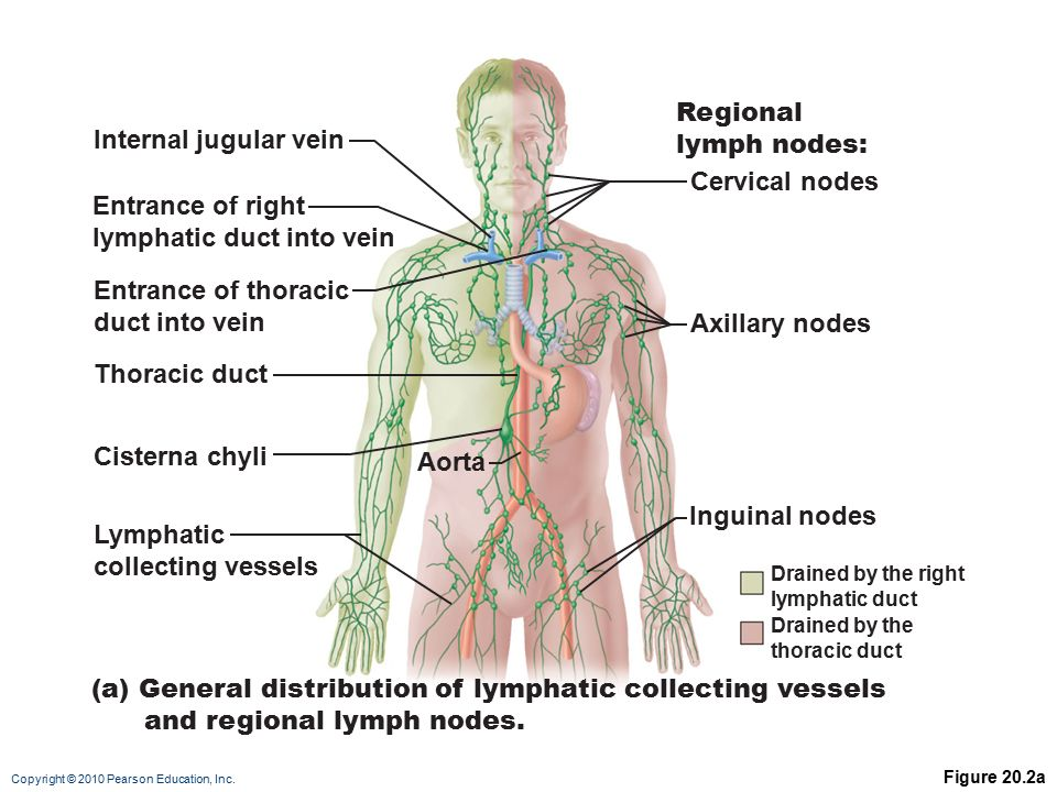 Pearson Lymphatic System Diagram Wiring Diagrams