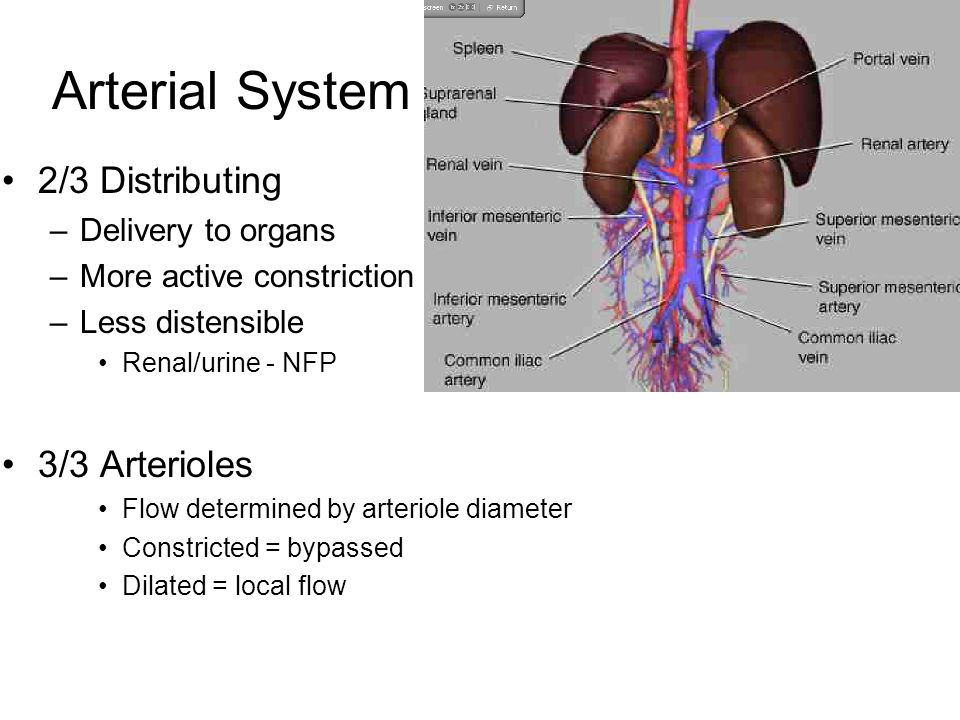 Blood Vessel Anatomy Ppt Video Online Download