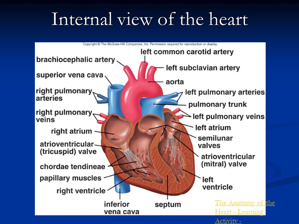 The mammalian circulatory system the mammalian heart homeostasis internal view of the heart ccuart Choice Image