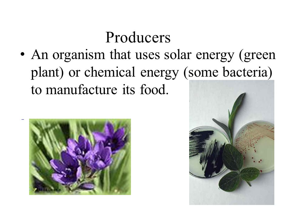 Producers An organism that uses solar energy (green plant) or chemical energy (some bacteria) to manufacture its food.