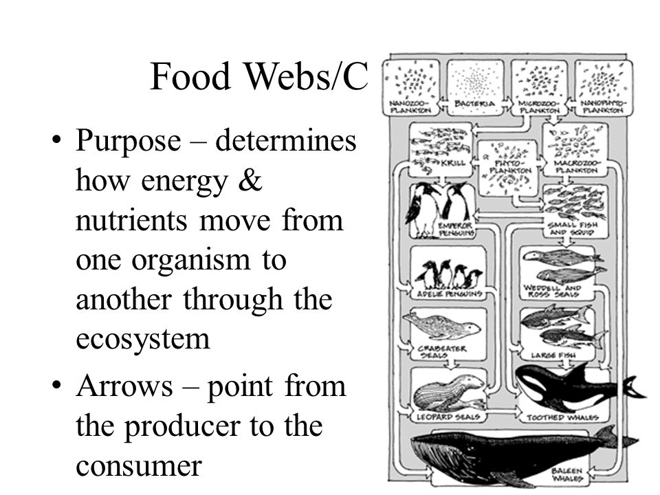 Food Webs/Chains Purpose – determines how energy & nutrients move from one organism to another through the ecosystem.